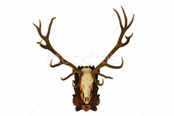 beautiful large red deer trophy over white Stock photo © taviphoto