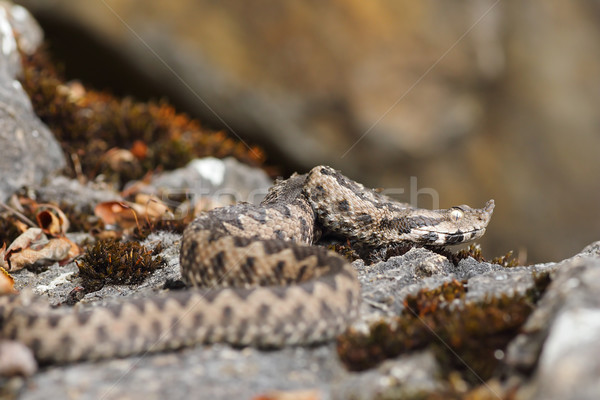 nose horned viper in natural habitat Stock photo © taviphoto