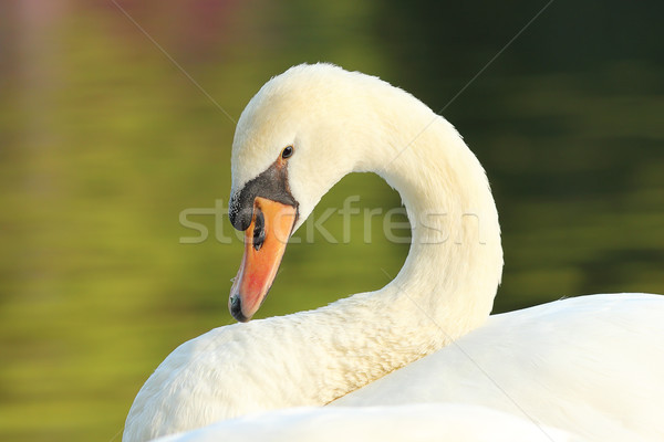 portrait of graceful white swan Stock photo © taviphoto