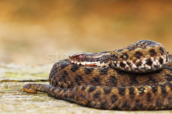 beautiful common european adder Stock photo © taviphoto