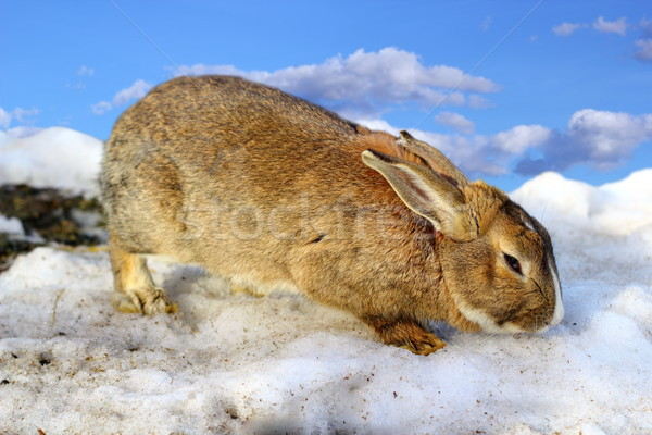 cute rabbit in the melting spring snow Stock photo © taviphoto