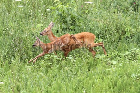 Stock photo: roe deer doe and calf jumping