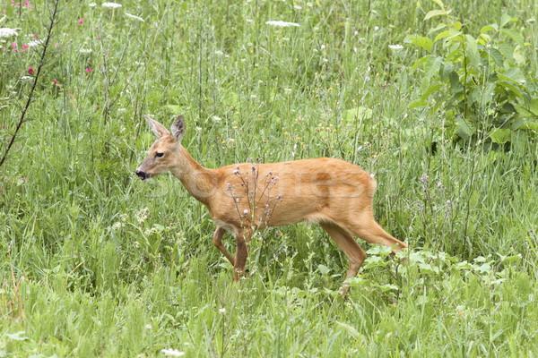 roe deer doe walking Stock photo © taviphoto