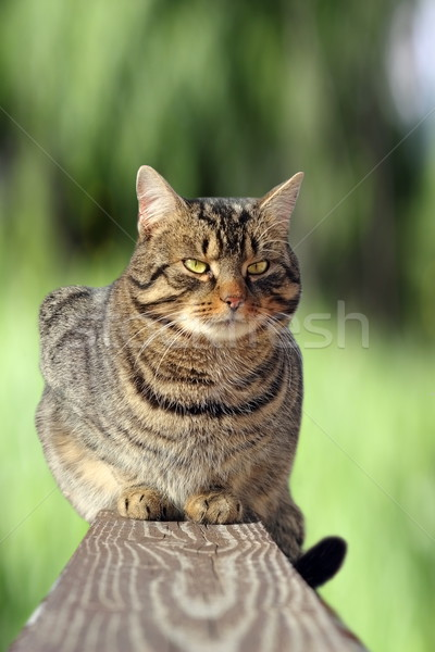 cat on the fence over green background Stock photo © taviphoto