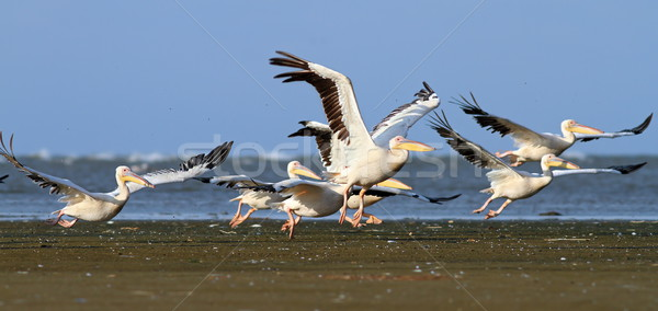 pelicans taking off from sea shore Stock photo © taviphoto