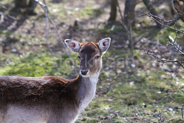 fallow deer doe portrait Stock photo © taviphoto