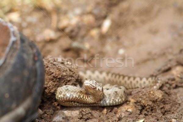 bootboot walking towards sand viper Stock photo © taviphoto
