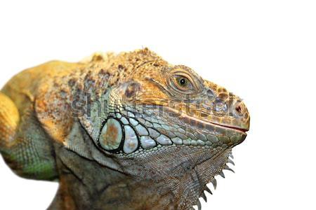 green iguana portrait Stock photo © taviphoto