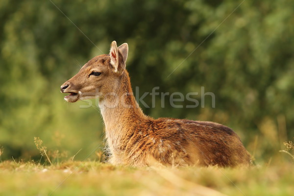 Stock photo: young fallow deer standing in the grass