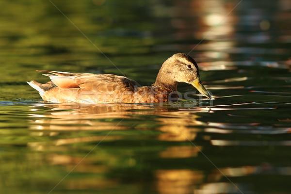 Női kacsa tavacska úszik víz természet Stock fotó © taviphoto