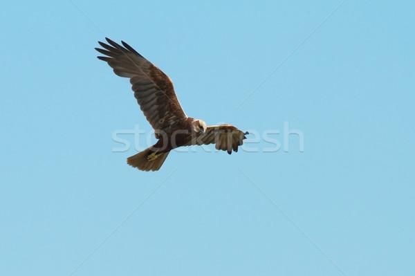 западной полет Blue Sky цирка природы птица Сток-фото © taviphoto