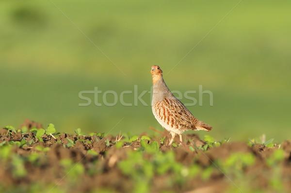 grey partridge looking at camera Stock photo © taviphoto