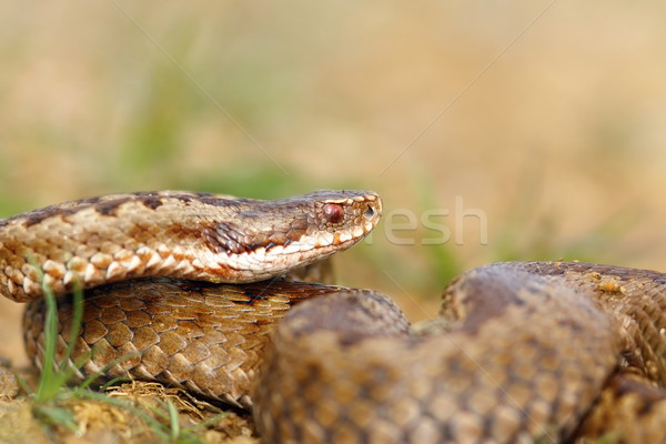 closeup of female crossed european viper Stock photo © taviphoto