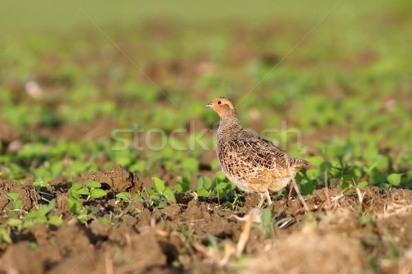 grey partridge on plowed land Stock photo © taviphoto