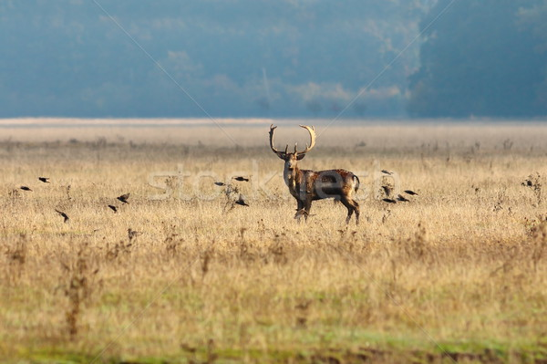 fallow deer and flying starlings Stock photo © taviphoto