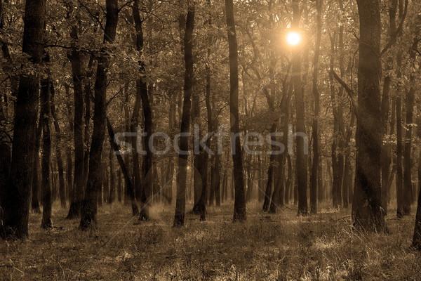 sepia autumn forest Stock photo © taviphoto