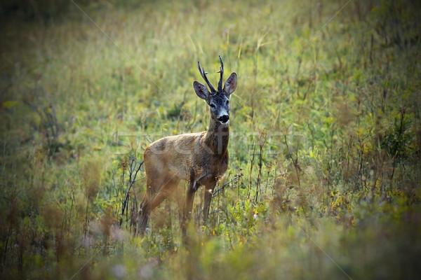 鹿 バック 草原 フィールド ストックフォト © taviphoto