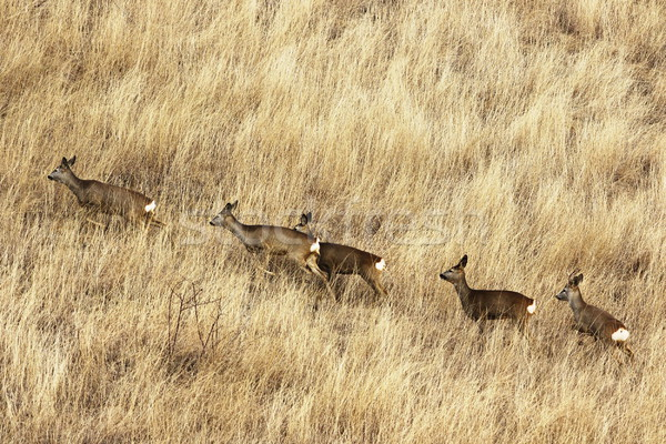 roe deer herd in big faded grass Stock photo © taviphoto