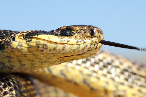 macro shot of blotched snake head Stock photo © taviphoto