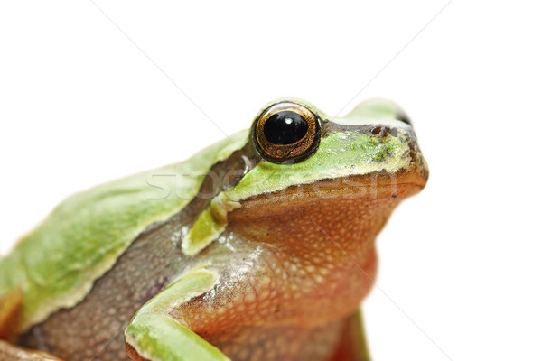 cute isolated portrait of green tree frog Stock photo © taviphoto