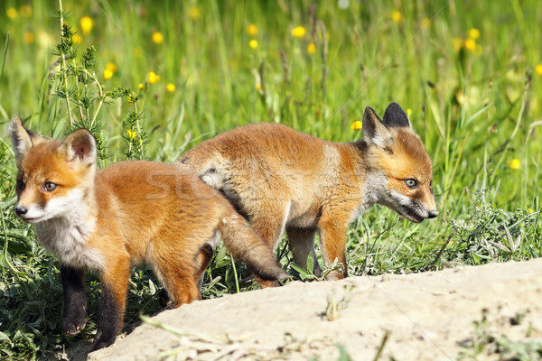 eurasian red fox youngsters in a glade Stock photo © taviphoto