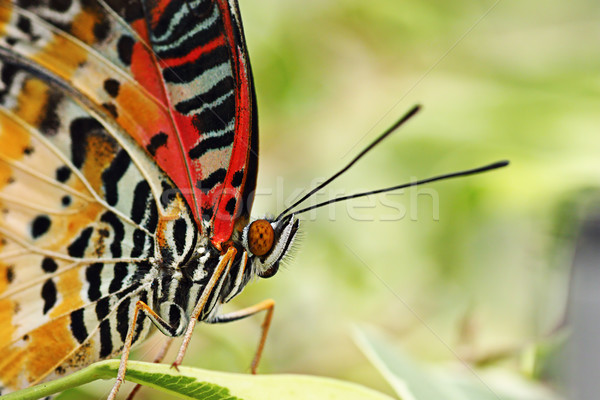 beautiful  leopard lacewing butterfly Stock photo © taviphoto