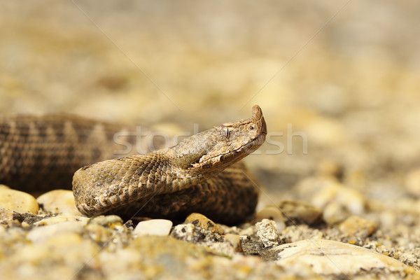 closeup of juvenile sand viper Stock photo © taviphoto