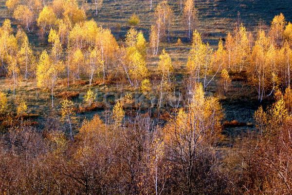autumn birches Stock photo © taviphoto