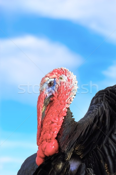 big turkey over the sky Stock photo © taviphoto