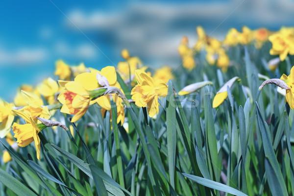 Geel narcissen groep mooie blauwe hemel bloem Stockfoto © taviphoto