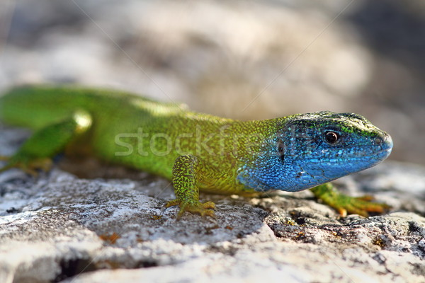 close-up of lacerta viridis in mating season Stock photo © taviphoto