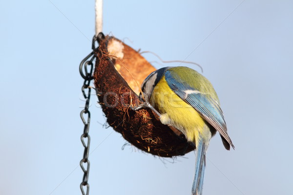 hungry blue tit feeding on lard coconut Stock photo © taviphoto