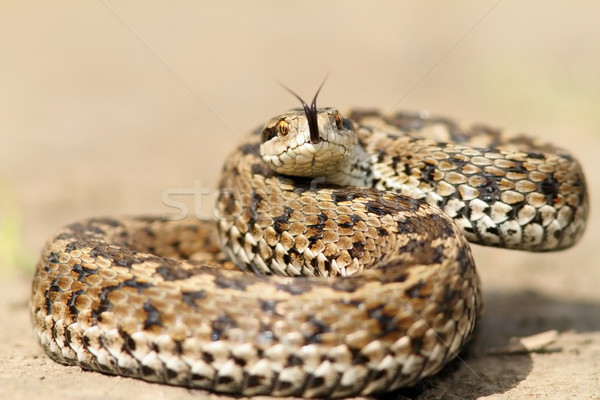 meadow viper ready to strike Stock photo © taviphoto