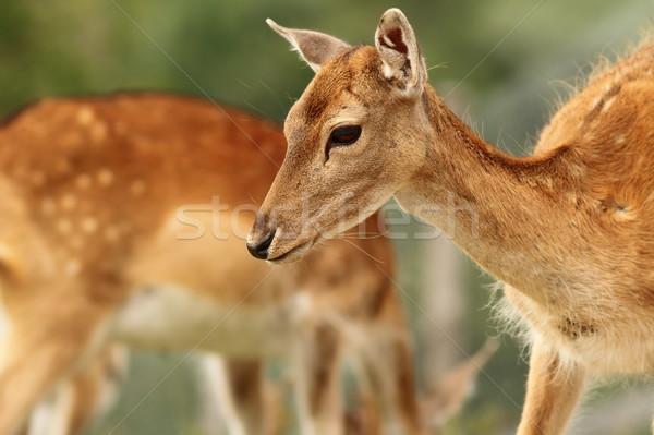 Stock fotó: Közelkép · szarvas · erdő · természet · zöld · portré