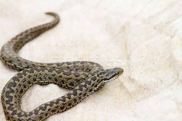elusive meadow adder on burlap  Stock photo © taviphoto