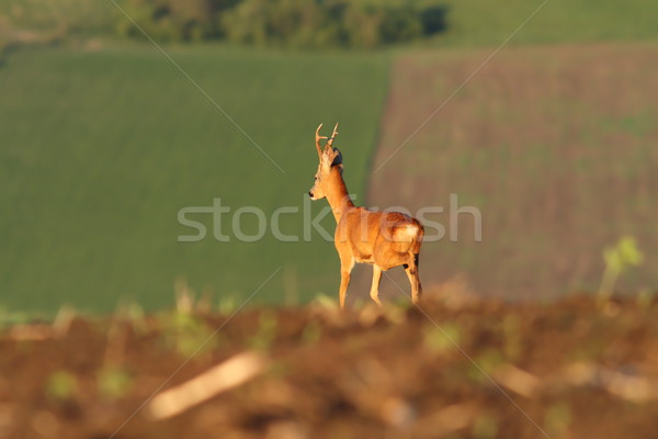roe deer buck on agricultural fields Stock photo © taviphoto