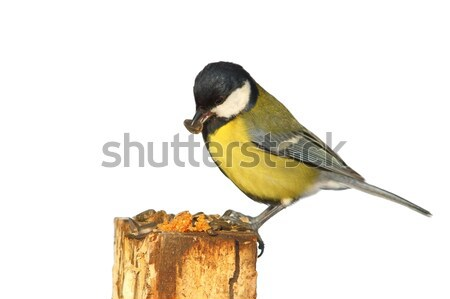 Stock photo: isolated great tit at bird feeder