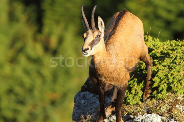 wild chamois looking up to the camera Stock photo © taviphoto