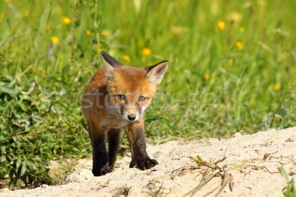 young small european fox cub Stock photo © taviphoto