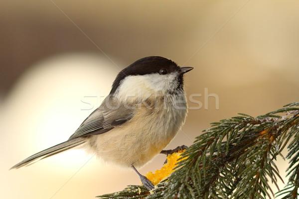 ива Тит ель веточка птица зима Сток-фото © taviphoto