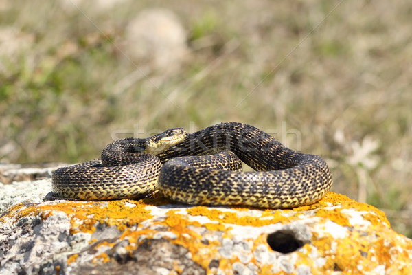 blotched snake basking on a rock Stock photo © taviphoto