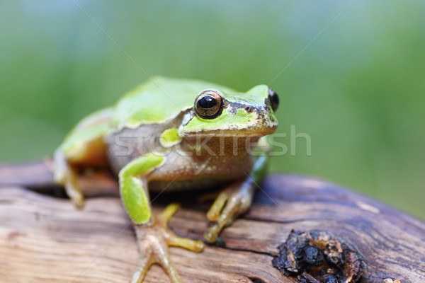 european tree frog on a stump Stock photo © taviphoto