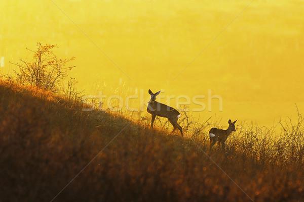 deers in orange colorful light Stock photo © taviphoto