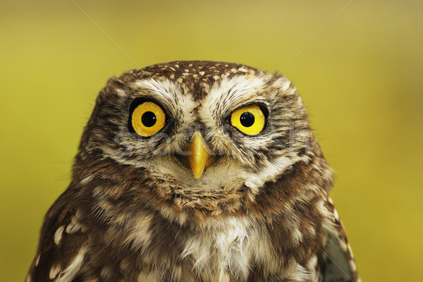 portrait of little owl Stock photo © taviphoto