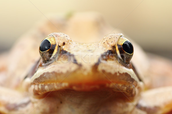 Rana dalmatina portrait Stock photo © taviphoto
