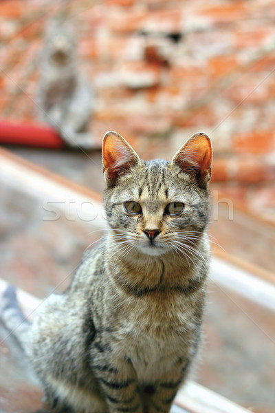 portrait of a striped cat looking at the camera , another cat in the blurry background Stock photo © taviphoto