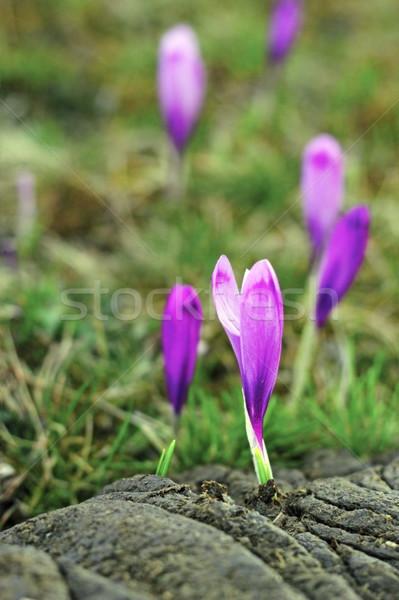 Крокус природного удобрение красивой Purple растущий Сток-фото © taviphoto