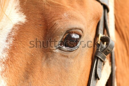 detail of beautiful horse eye Stock photo © taviphoto