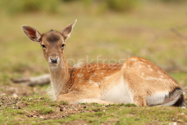 fallow deer hind Stock photo © taviphoto
