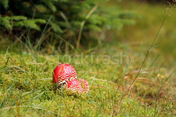 colorful amanita muscaria Stock photo © taviphoto